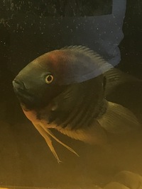 Severums cichlids xl red spot ,rotkeil and spotted