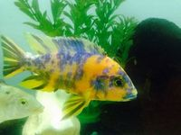 Fish Malawi OB Peacocks 2.5 Inch - �Each