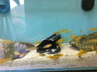 Mbuna juveniles for sale, excellent choice, 6 different species. Socolifi, Acei, Saulosi, Jalos, Mgunga.