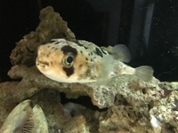 Live rock, Large puffer, in 6x2x2 Marine Tank and cabinet