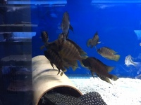 JUMBO LAMPROLOGUS COMPRESSICEPS GOLD HEAD. 3 TO 4 inches ONLY � EACH