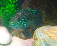 SOLD######%%%Breeding pair of jack Dempsey