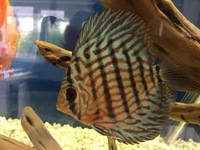 5 Discus Fish mixed strains