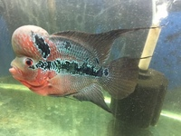 RED TEXAS FLOWERHORN IN STOCK MASSIVE KOK. ONLY �0 PERFECT SPECIMEN