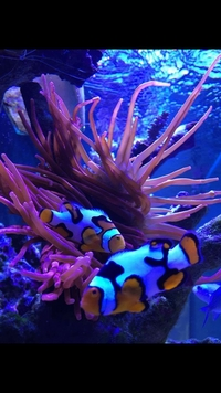 Grade A Picasso Clown fish pair