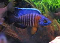Malawi PEACOCKS CICHLIDS � /></a><br><br><a class=