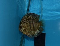Adult proven male Discus �