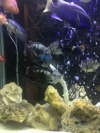 CICHLIDS FOR SALE - Leicester