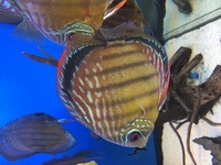Wild semi royal red Discus 5-6""