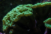 LARGE CORALS FOR SALE- TANK SHUT DOWN