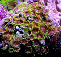 UK SHIPPING Marine Corals based in NW LONDON