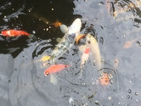 Various Koi for sale