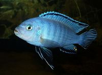 Malawi Cichlids for sale