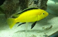 8x yellow labs � malawi cichlids mbuna tropical fish juveniles fry