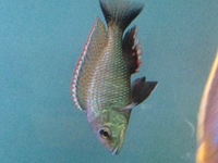 RIFT CICHLIDS FOR SALE