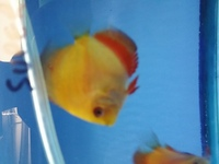 2.5-3 nches young discus for sale in birmingham @ B46 Discus.