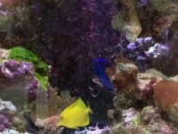Marine livestock in Aqua One 3 foot established tank, sump for sale