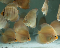 3 inches Discus fish, snakeskin, San merah, turquoise, pigeon bloo