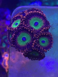 Various Zoa Frags for sale BRIGHTON