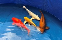 Japanese Koi Collection 4 - High-grade A++ (see VIDEO)