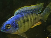 MALE AULONACARA FIRE REDS/ STEVENI TIGER AND AHLI NEW IN STOCK