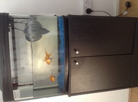 2 goldfish possibly fantails? Free to loving home