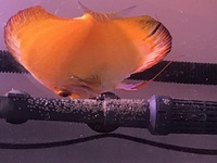 Pair of breeding discus