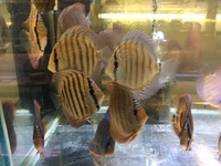 RED ALENQUER DISCUS 5 to 6cm �95 5 for �. 10CM �.95 OR 4 FOR �0 ,PAIRS �.95 IN STOCK NOW.