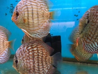 BARGAIN BLUE TURQUOISE DISCUS ONLY �.95 OR 4 FOR �0. 10 TO 12CM FISH.