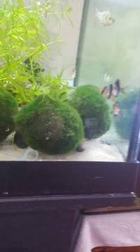 cherry shrimp & moss balls
