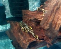 GOLDEN NUGGETS L18 PLECO TROPICAL FISH
