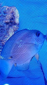 MARINE FISH / LITTLE BRISTLETOOTH TANGS