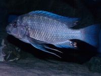 F1 Petrochromis Sp. Giant ( Fulwe rocks )