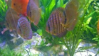 9 Stendker devotedly discus (1 breeding pair) ranging from 10 to 14cm - quick sale wanted �0