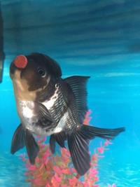 GORGEOUS EXTRA LARGE BLACK AND WHITE ORANDA FANCY GOLDFISH.