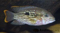 Orange/Gold Saums - Andinoacara rivulatus sp. Rio Esmeraldas - F1