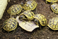 CB Hatchling Hermans Tortoise �0 born CB Feb 17