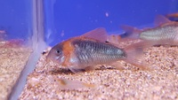 Maidenhead Aquatics @ Rutland, Corydoras in stock 21/01/18