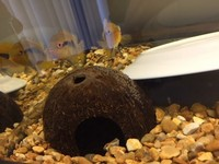 Breeding Rainbow Cichlid trio