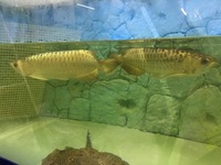 Pair of Adult Crossback Arowana