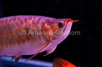 AAA Grade Super Red Arowana
