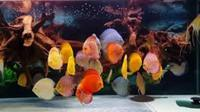OVER 1000 DISCUS FISH , CHESHIRE OAKS DISCUS , WATCH THE VIDEO