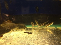 SHOW SIZE BOTIA SIDTHIMUNKI IN STOCK AT CHILTON AQUATICS ONLY � EACH