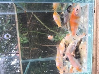 Koi carp for sale 1-2 inches Wolverhampton