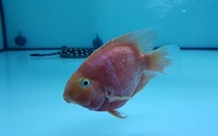 Parrot fish 6 inch