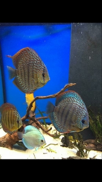 Established breeding pair Punchards Discus