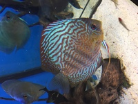 Punchards Discus for sale