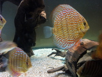 Young discus.