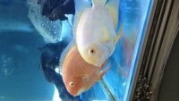 Large red spot and yellow Sevrums � or swap clown loaches