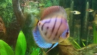 Blue Diamond Discus - FREE to good home
